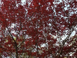 Our beautiful Bloodgood Maple in front of the house.
