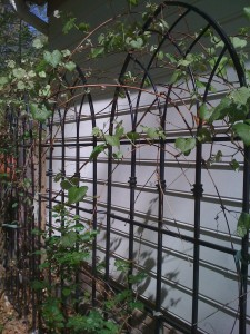 Trellis with grapevine