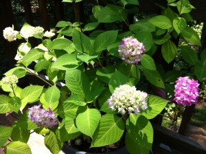 Mother's Day Hydrangea