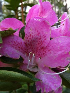 Close-up of pink azalea flower