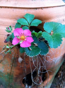 Lovely strawberry plant with pink flowers!