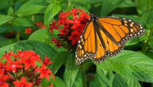 Monarch Butterfly is a beneficial garden insect (Photo Courtesy longwoodgardens.org)