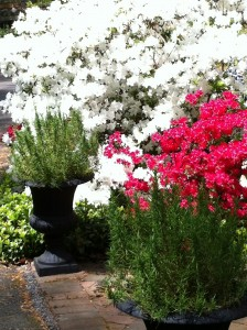 Red and white azaleas in full bloom.  Rosemary in the urns.
