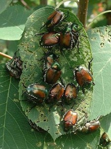 Japanese Beetles cause consideral damage - Photo Courtesy: the Univ. of Kentucky