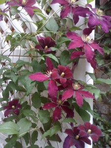 Burgundy Clematis Vine attracts butterflies (Photo Credit: Adroit Ideals)