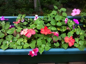 Impatiens in a Flower Box on my Deck Railing