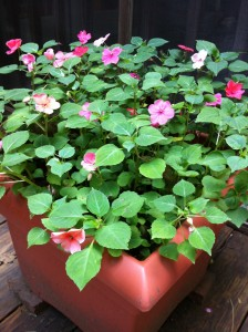This planter never gets replanted due to Impatiens reseeding themselves!