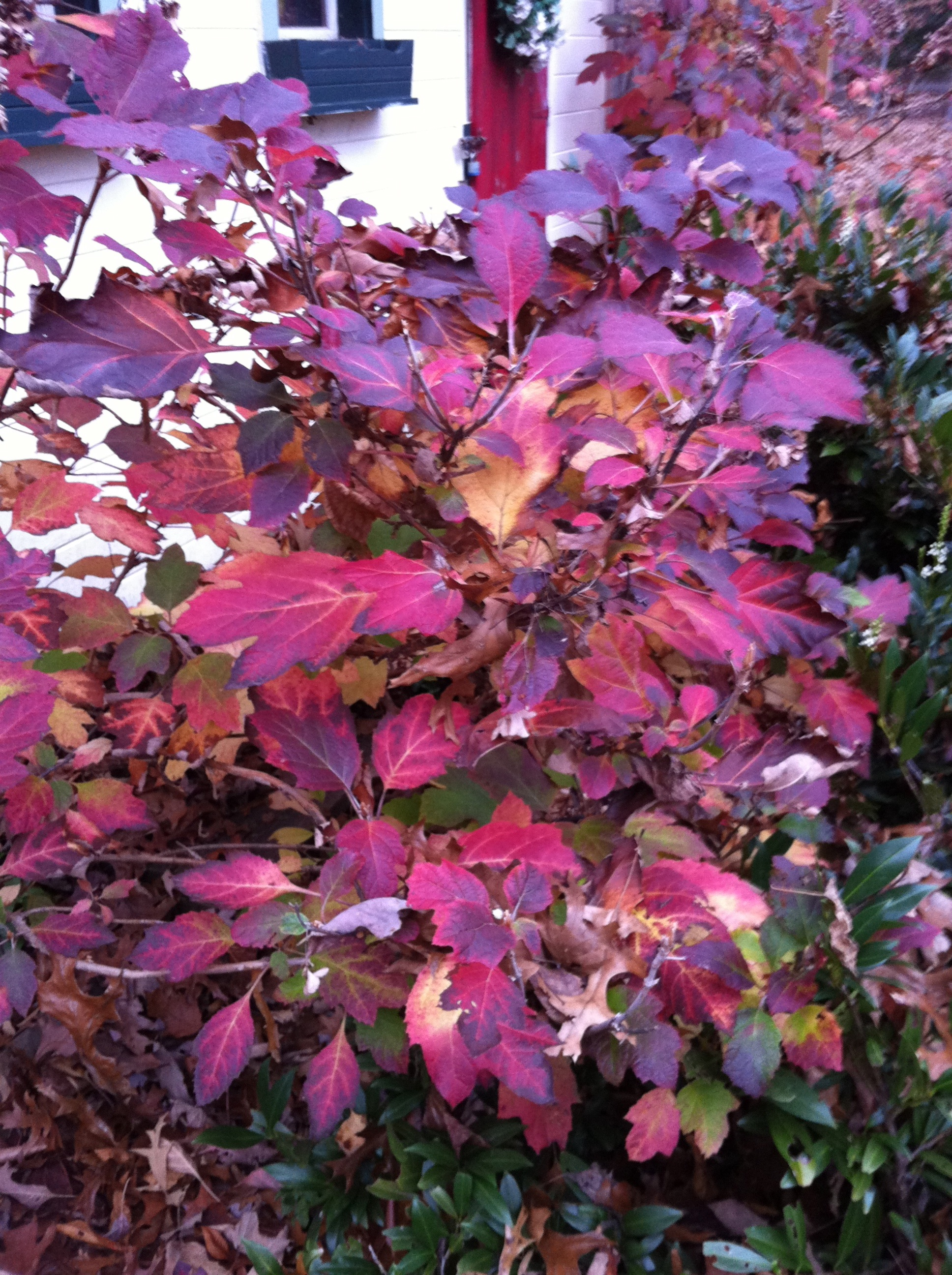 Nature   s Autumn Paintbrush     Fall Colors in the GardenOakleaf Hydrangea Fall Color
