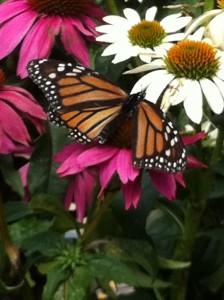 A monarch visits flowers