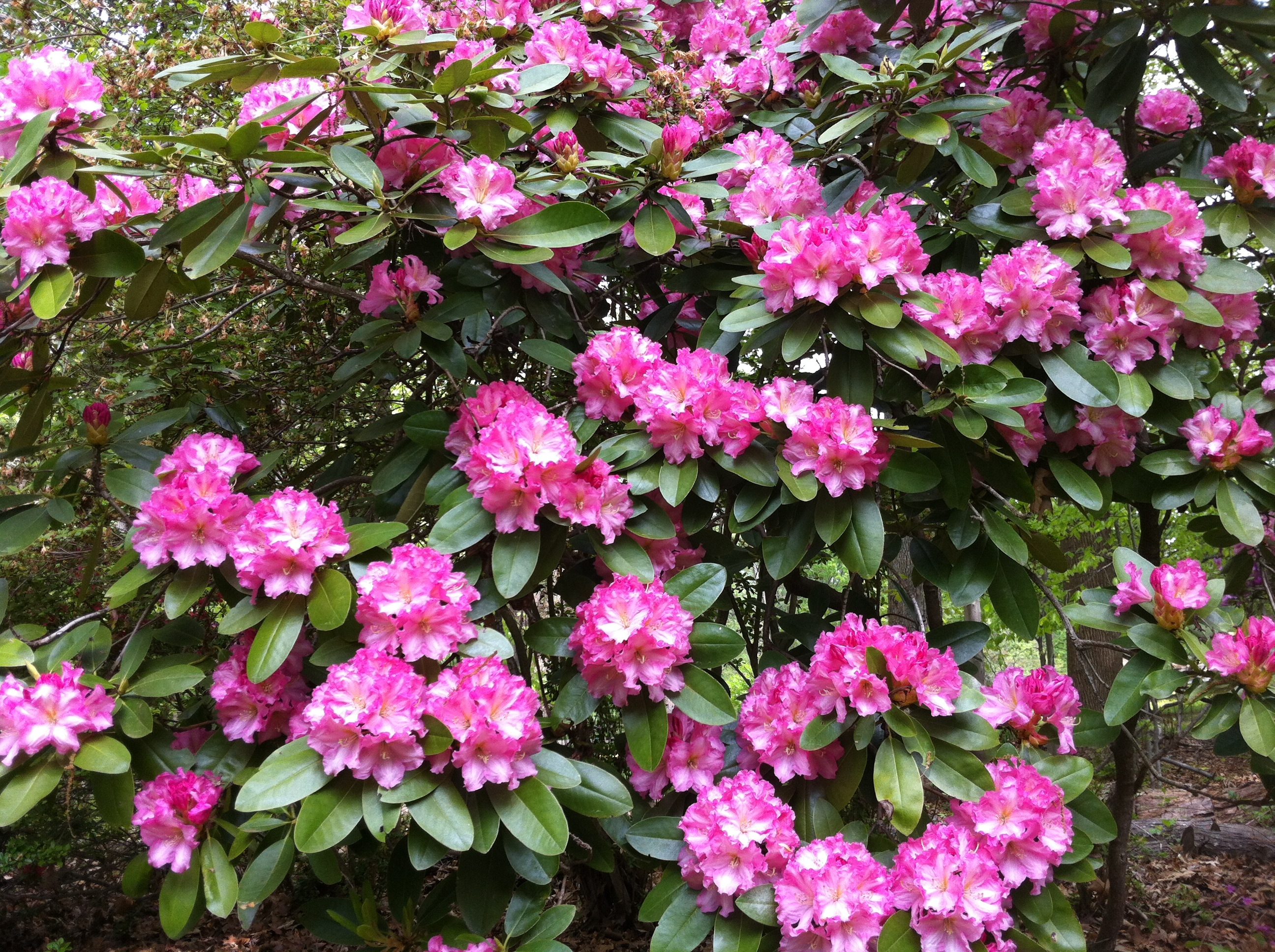 RhododenronMagenta