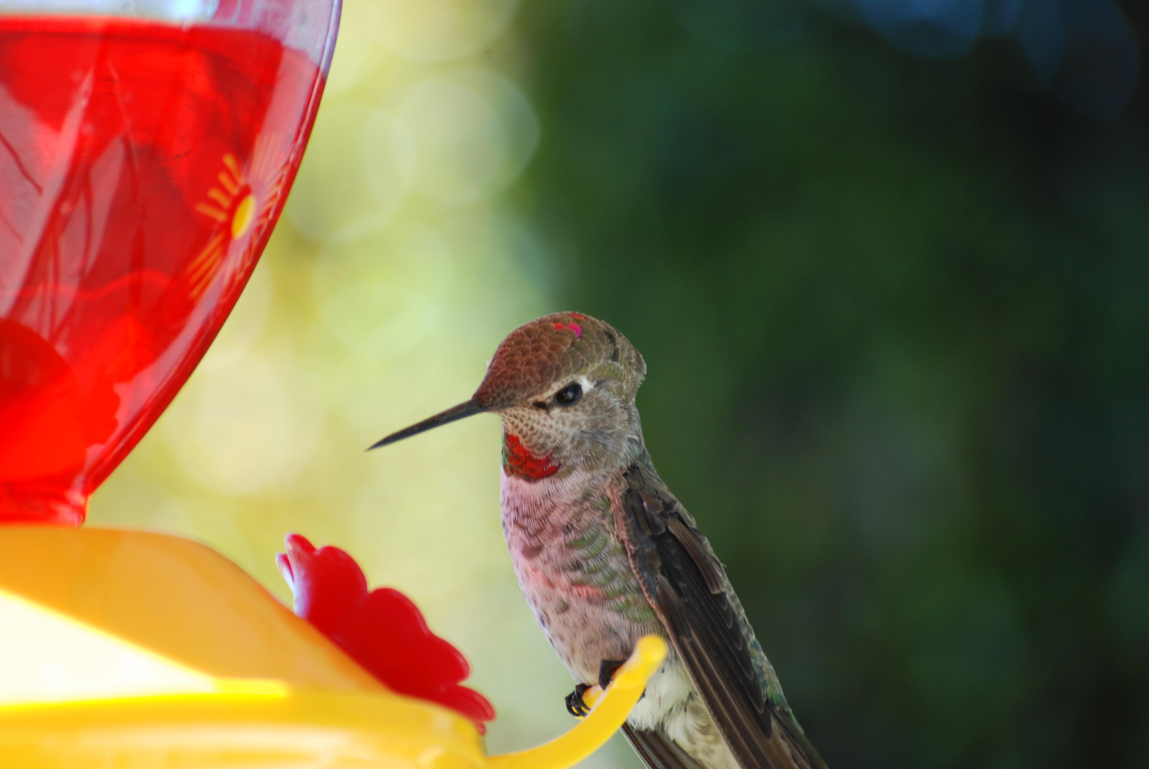 HummingbirdatFeeder