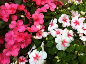 Impatiens color combos are infinite