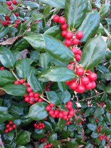 Burford Holly berries in abundance in my yard (Photo Credit: Adroit Ideals)
