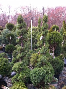 Gorgeous evergreens for purchase at Merrifield Garden Center (Photo Credit: Adroit Ideals)