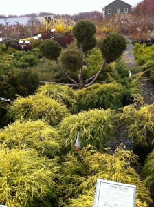 Evergreens add winter interest to your landscape (Photo Credit: Adroit Ideals)