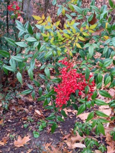 My Nandina is full of berries this winter! (Photo Credit: Adroit Ideals)