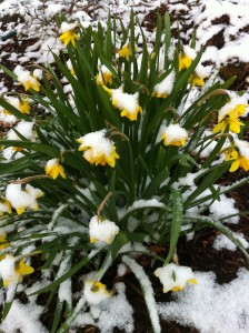 Tete-a-tetes in the snow (Photo Credit: Adroit Ideals)