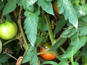 Fresh Sun-Ripened Tomatoes on the Plant!