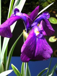 Pretty purple iris that I planted last Spring