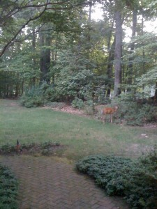 A deer feasting on my azaleas (Photo Credit: Adroit Ideals)