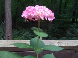 Endless Summer Hydrangea bloom reaches to the sky (Photo Credit: Adroit Ideals)