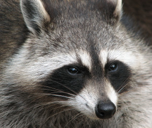 Raccoon (Photo Credit: Darkone at wikipedia.org)