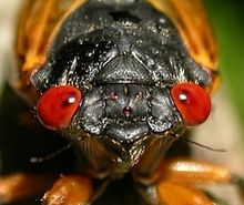 The cicada! (Photo Credit: wikipedia.org)
