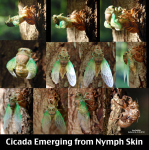 Adult Cicada morphing from Nymph (Photo Credit: wikipedia.org)