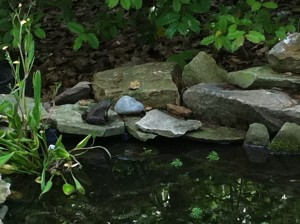Bullfrog at the pond!  (Photo Credit: Adroit Ideals)