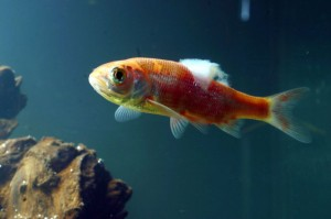A cottony fungus on a goldfish (Photo Credit: goldfish2care4.com)