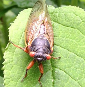 "A 2013 Brood II Cicada says ""Hello!"" (Photo Credit: Adroit Ideals)"