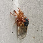 An adult cicada emerges from its nymph skin (Photo Credit: Adroit Ideals)