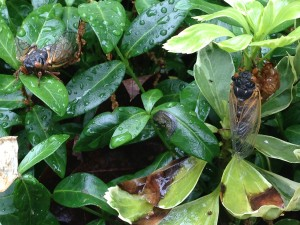 Adult cicadas from Brood II (Photo Credit: Adroit Ideals)