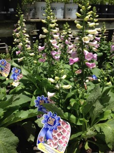 "Butterflies will happily visit the lovely ""Camelot Lavender"" foxglove flowers.   (Photo Credit: Adroit Ideals)"