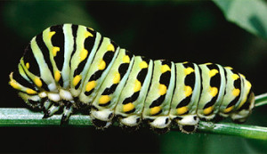 Gorgeous Eastern Black Swallowtail Butterfly larva (Photo Courtesy FCPS.edu)