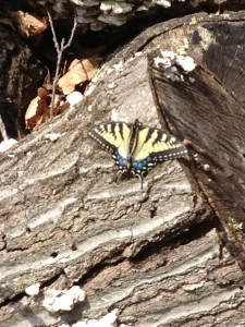 The first swallowtail butterfly of the 2003 Spring season warms itself on a fallen log (Photo Credit: Adroit Ideals)