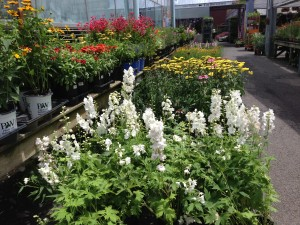 White Delphinium's tall spires of flowers attract lots of butterflies.  (Photo Credit: Adroit Ideals)