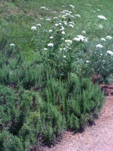 Butterfly-attracting Queen Anne's Lace grows next to Rosemary at Thomas Jefferson's Monticello (Photo Credit: Adroit Ideals)
