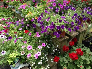 A selection of colorful petunias with a red geranium and some white lobelia.   (Photo Credit: Adroit Ideals)