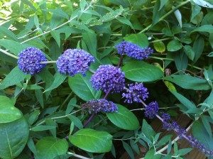 Super gorgeous butterfly attractant -- the sweet-smelling flower from the Buddleia -- butterfly bush!!!!   (Photo Credit: Adroit Ideals)