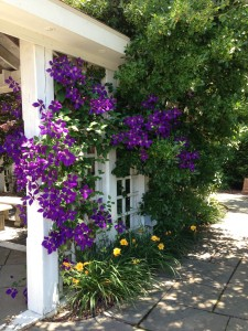 Beautiful purple clematis vine and yellow daylilies at Merrifield Garden Center's Display Gardens  (Photo Credit: Adroit Ideals)
