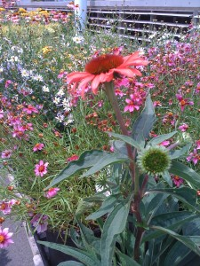 Pretty red coneflower will attract many butterflies and bees! (Photo Credit: Adroit Ideals)