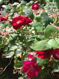 Climbing red rose mingles with honeysuckle vine to attract butterflies and bees (Photo Credit: Adroit Ideals)