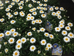 Shasta Daisies will attract butterflies and also make their human owners happy!   (Photo Credit: Adroit Ideals)