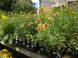 "Yellow and red ""Cosmos"" Tickseed is a favorite of butterflies and bees  (Photo Credit: Adroit Ideals)"