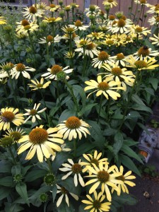 Yellow Coneflowers -- see the happy bees?  I count THREE!  Butterflies like 'em too!   (Photo Credit: Adroit Ideals)
