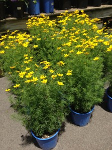 Yellow Coreopsis equals Butterfly Heaven!  Plant some coreopsis in your butterfly garden.   (Photo Credit: Adroit Ideals)