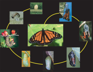 Butterfly Life Cycle (Photo Courtesy of kingstonfieldnaturalist.org)