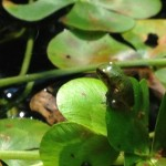 Tiny frog perches on a pond plant (Photo Credit: Adroit Ideals)