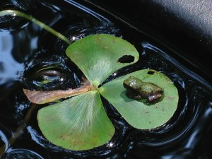 A tiny green frog relaxes on a four-leaf-clover pond plant while a second tiny frog peeks up from the water on the left -- see his eyes?  (Photo Credit: Adroit Ideals)